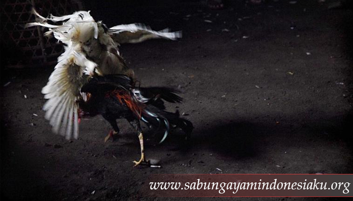 Asal Mula Sabung Ayam