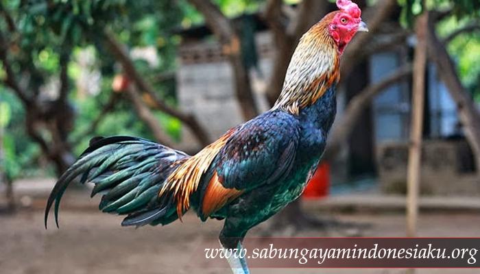 Ayam Birma (Burma)