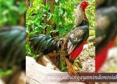 Ayam Brazil