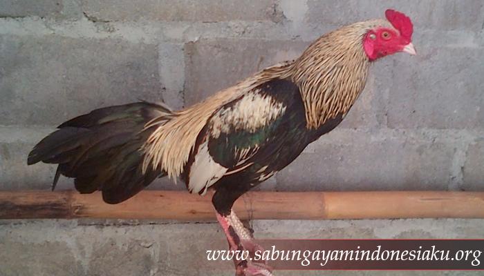 Ayam Pama