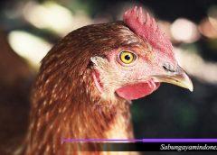 Pemilihan Ayam Adu Bangkok