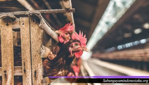 Pertumbuhan Tubuh Ayam Petarung