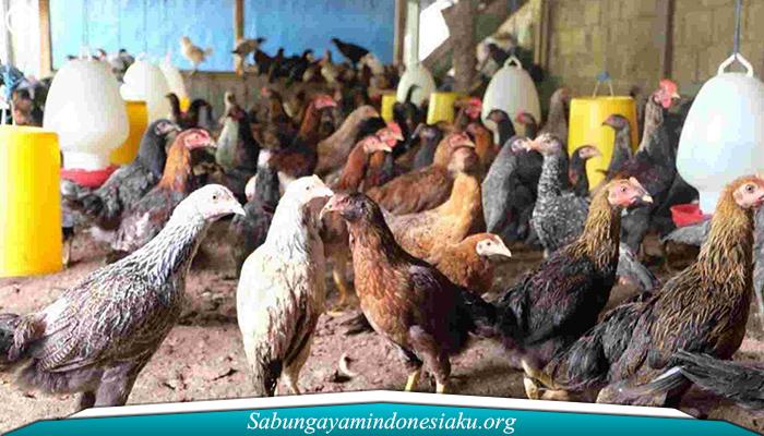 Cara Alternatif Membuat Pakan Ayam