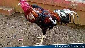 Cara Menyambungkan Bulu Ayam Yang Patah