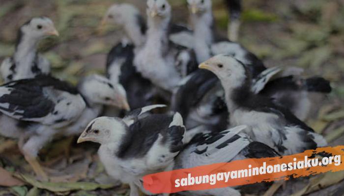 Ciri Fisik Anak Ayam Bangkok Berkualitas
