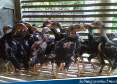 Jenis Ayam Berdasarkan Kawin Silang