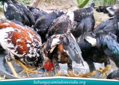 Pakan Ayam Alami
