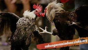 Perawatan Bagi Ayam Aduan Usai Bertarung