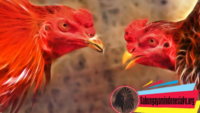 Gula Merah Bermanfaat Bagi Ayam Petarung