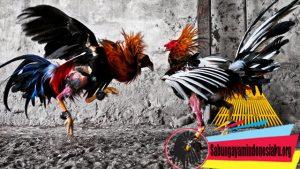 Manfaat Jagung Untuk Ayam Petarung