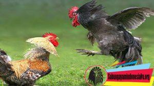 Mengenali Ayam Yang Siap Bertarung