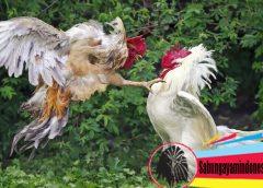 Taji Ayam Paling Mengerikan