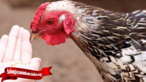 Fakta Penting Sifat Dan Tingka Laku Ayam