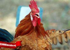 Palajari Fakta Tentang Sifat Ayam Tarung