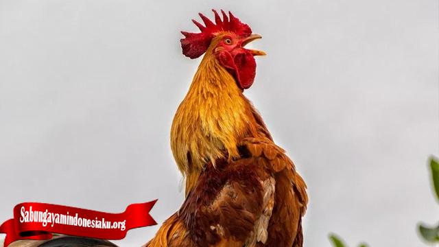 Tips Rahasia Dari Merawat Ayam Yang Akan Berduel