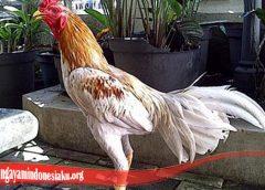 Perawatan Bulu Ayam Terbaik