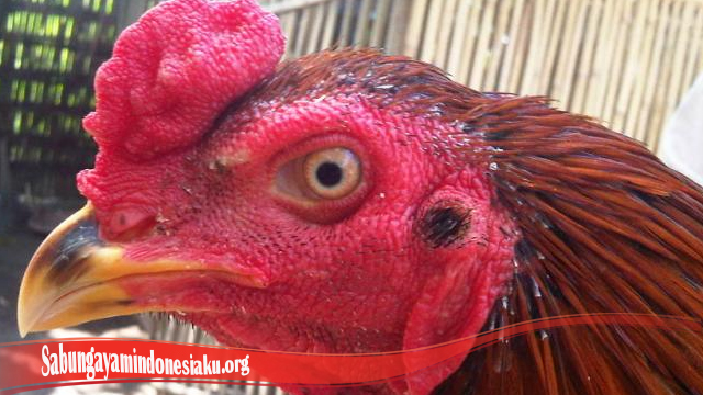 Perawatan Luka Pada Mata Ayam Bangkok