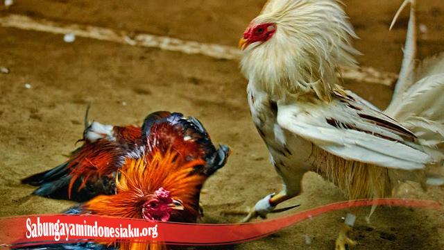 Tingkatkan Mental Ayam Bangkok