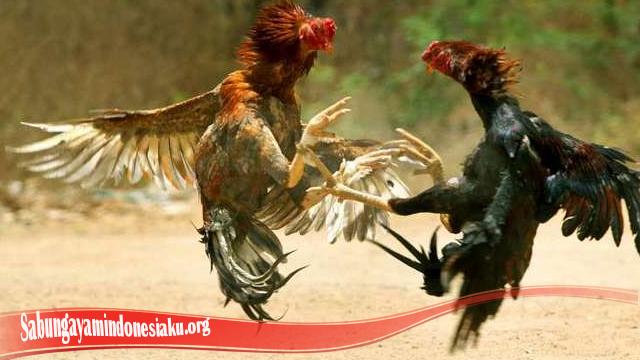 Belajar Cara Naikkan Mental Ayam S128