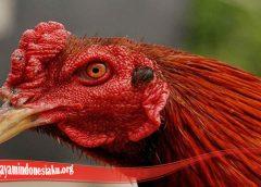 Belajar Cepat Sembuhkan Mata Ayam S128