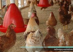 Ayam dipelihara, Apa manfaatnya
