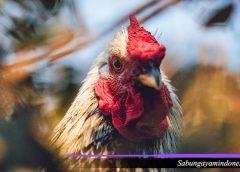 Tempat Lelang Ayam Petarung Bangkok