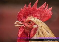 Website Terpercaya Taruhan Sabung Ayam S128