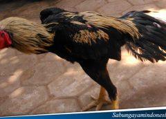 Kesalahan Fatal Dalam MErawat ayam petarung