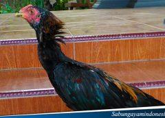 Tips Menigkatkan Kekuatan Otot leher Pada ayam