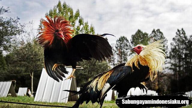 67+ Gambar Kartun Ayam Aduan Terbaru