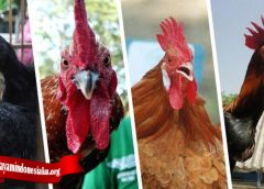 Cara Paling Mudah Untuk Ternak Ayam Tarung