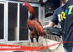 Belajar Cara Untuk Memperlebat Bulu Ayam